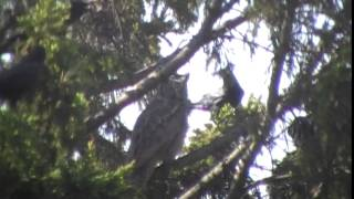 Crows attack Great Horned Owl