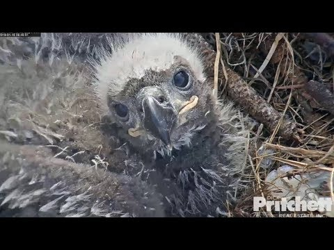 SWFL Eagles ~ Sibling Cuteness ~ Closeups Of E12 & Harriet Soaring 1.15.19
