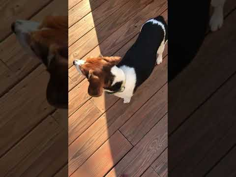 The beagle and the egg