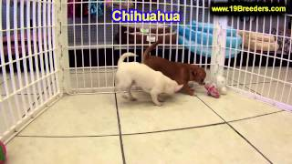 Chihuahua, Puppies, For, Sale, In, Minneapolis, Minnesota, Mn, Inver Grove Heights, Roseville, Cotta