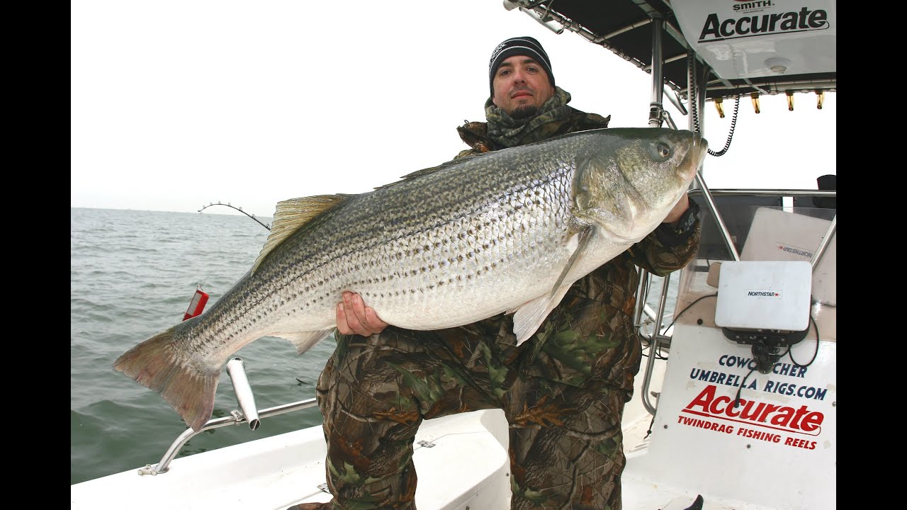 Striped bass fishing for giants 50 pounder released best for Fishing for striped bass