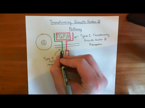The Transforming Growth Factor Beta Pathway Part 1