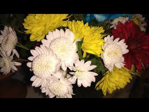 Видео 4К Красивые цветные хризантемы ОЧЕНЬ КРАСИВО