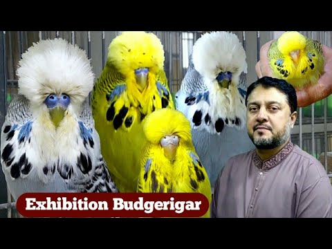 Download Visited Exhibition Budgerigar Room  By Arif Raza
