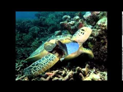 Tập tính của động vật : Rùa biển