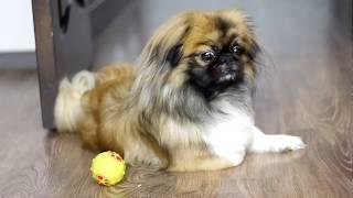 Пекинес | Собака- самый верный друг | 2018