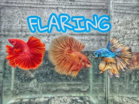 Ways On How To Flare Your Betta | 3 Easy Steps