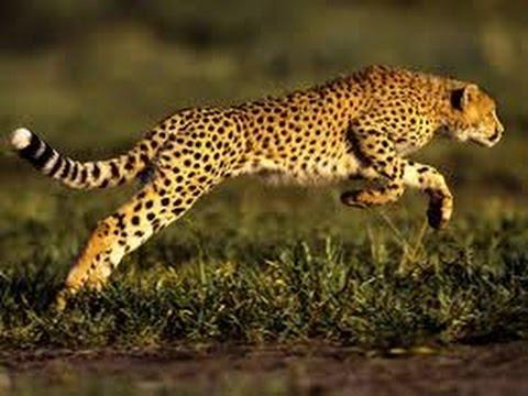 macan tutul keren