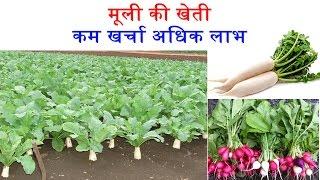 Radish Farming : मूली की वैज्ञानिक खेती