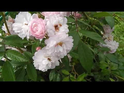 Мои розы-рамблеры второгодки Утигорд фоллс, Гирлянд роуз,Вартбург.  2019