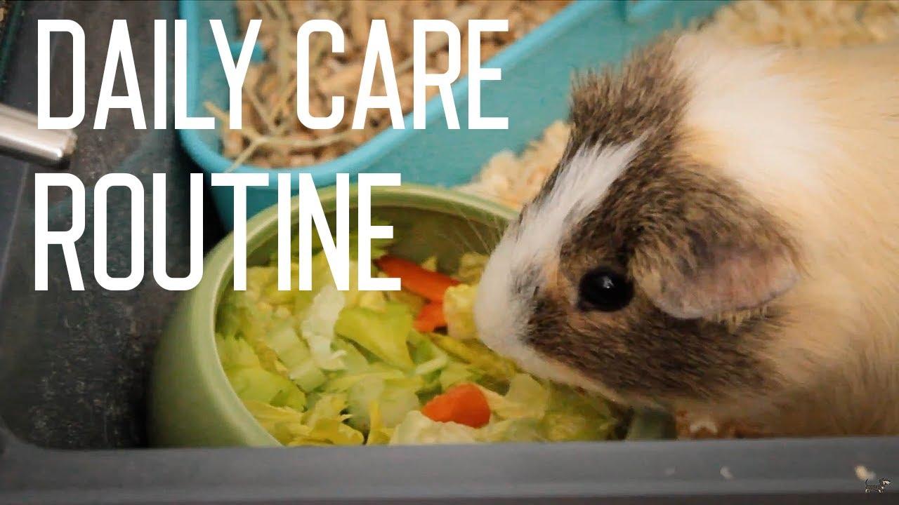 How to care for guinea pig