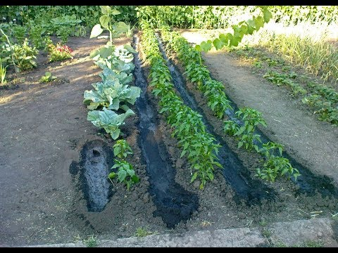 Продольный полив перцев между рядами растущих в открытом грунте