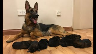 German shepherd Giving birth to 9 puppies   (First Litter)