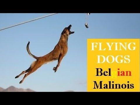 SUPERPOWER DOG ⭐️ EXTREME MALINOIS Dogs ⭐️JUMPING Belgian Shepherd🔎 COMPILATION & FACTS