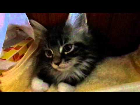 Good morning maine coon kitten