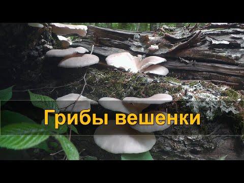 ДАРЫ ПРИРОДЫ: грибы вешенки (чинарики)