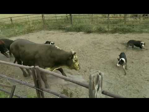 Loading Rank Rodeo Bulls with Satus Eva Brick and Kate