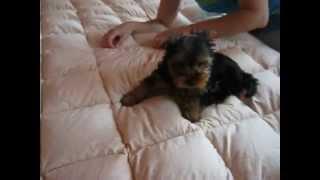 Йоркширский терьер играет - Умка Малыш СХ (2) - купить щенка йорка