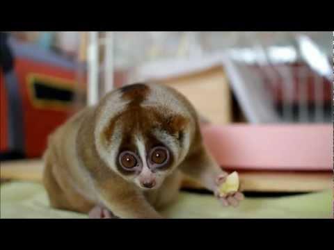 Slow Loris eating Banana