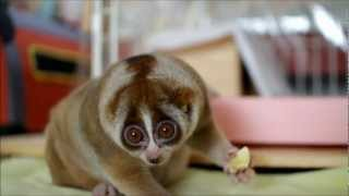 Slow Loris eating Banana