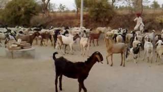 Kharchiya Near Goat and Sheap