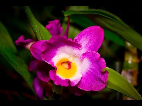 alles ber orchideen wie pflege ich dendrobium nobile. Black Bedroom Furniture Sets. Home Design Ideas