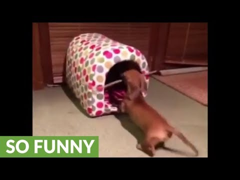 Mini Dachshund can't get stick into dog bed
