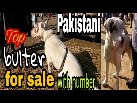 Kohati bulter dogs for sale