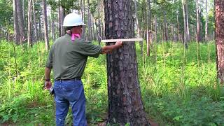 Measuring tree diameter usİng a biltmore stick