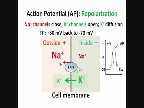 Neuron, Action Potential, Part 2: Depolarization, Repolarization, Hyperpolarization