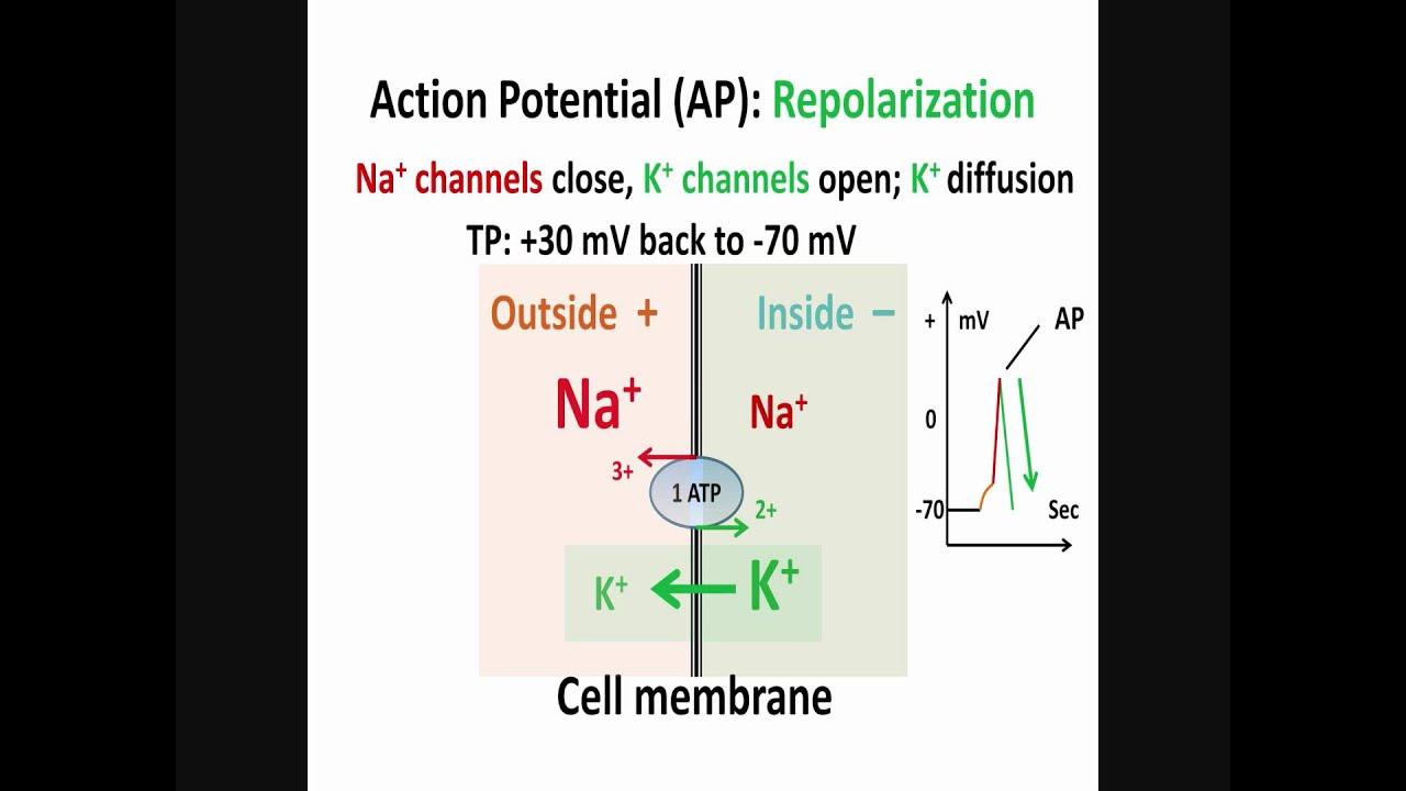 Neuron, Action Potential, Part 2: Depolarization, Repolarization ...