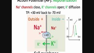 Neuron, Action Potential, Part 2: Depolarization, Repolarization, Hyperpolarization