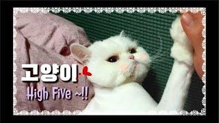 [까까캔디] 하이파이브 하는 고양이  까칠냥이  페르시안  고양이랑놀아주기  고양이가 좋아하는