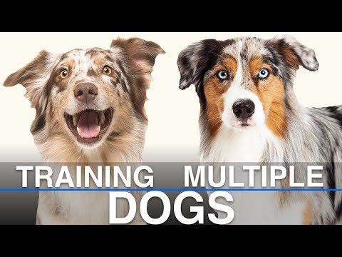 Is It Possible To Train Multiple Dogs At Once?