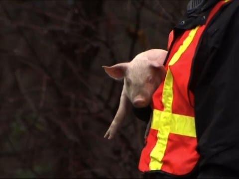 Raw: Piglets Escape When Truck Overturns