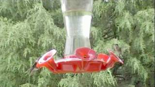 White Leucistic Hummingbird Ruby Throated