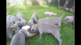 Weimaraner puppies Human touch kennel