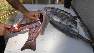 How to fillet redfish, trout and sheepshead