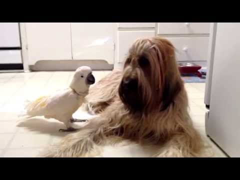Meet Chou Chou Briard and Brandy the Barking Bird!
