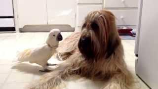 Meet Chou Chou Briard and Brandy the Barking Bird!