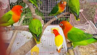 Video Opaline fischeri by Breeder QBF Lhokseumawe download MP3, 3GP, MP4, WEBM, AVI, FLV Maret 2018