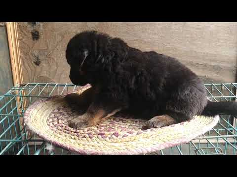 Long Coat German Shepherd Puppies female for sale in pure Quality By Rohit pet Care dog kennel