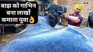 रिपीटर भैंस को गाभिन ठहराने का सही तरीका जाने| Buffalo cow pregnancy Repeater Problem solution