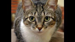 Brazilian Shorthair Cat Characteristics, Price, Training, Health, Feeding, Color and wool