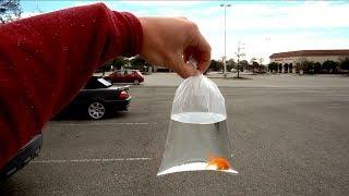 New Fantail Goldfish (Fish Community HELP)