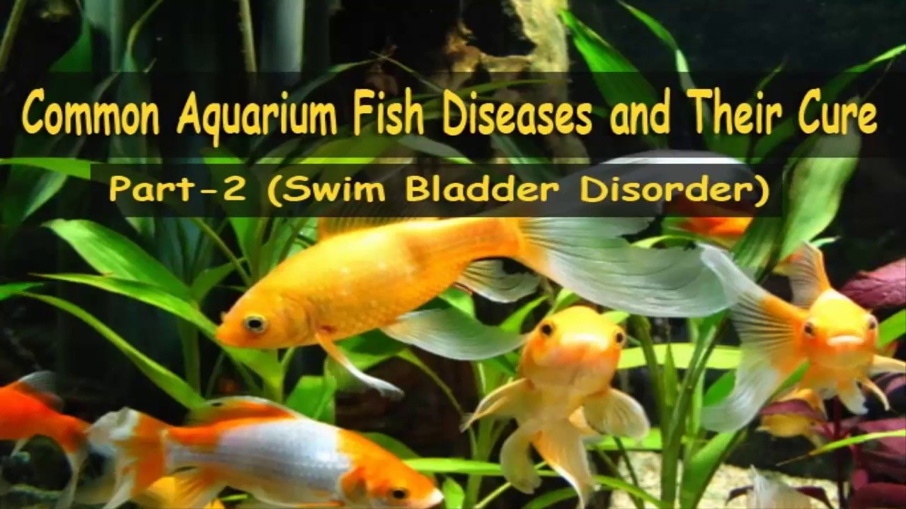 Fish in tank diseases - Common Aquarium Fish Diseases Part 2 Swim Bladder Disorder