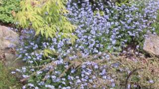 Adding Color to the Garden with Forget-Me-Nots