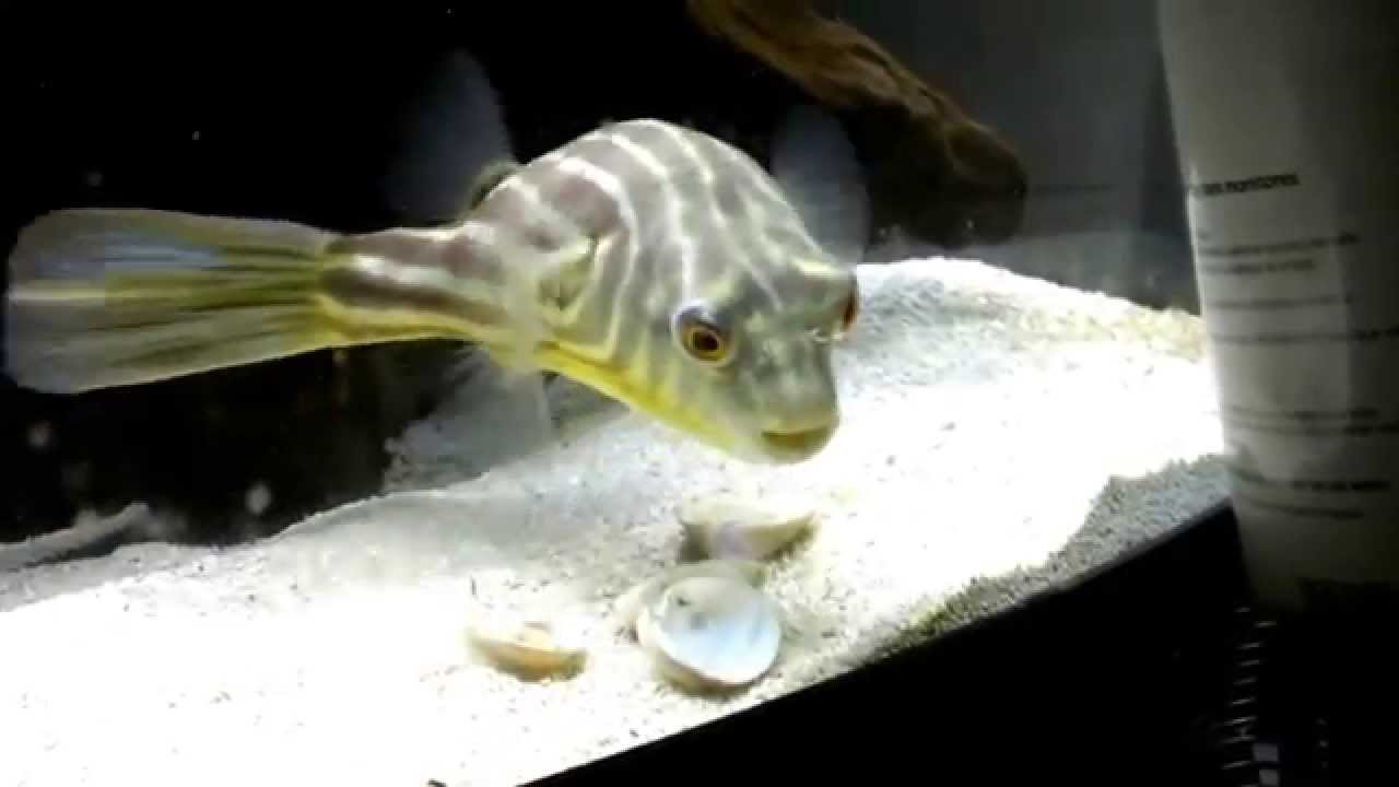 Fahaka Puffer gets MAD at something outside of the tank - YouTube