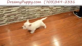 Dreamy Puppy - West Highland White Terrier Boy