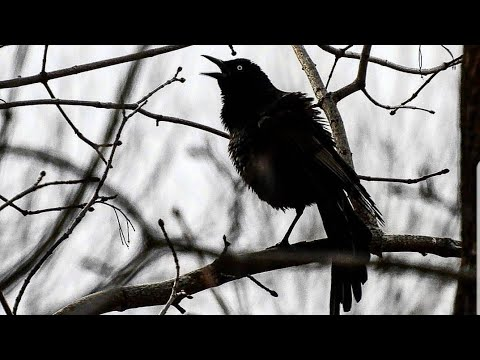 What Does A Grackle Call Sound Like?